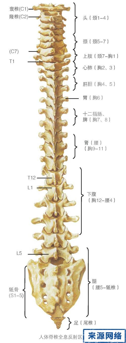 脊柱 - 兴安神医 - 兴安神医的博客