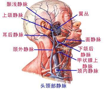 全身静脉解剖图