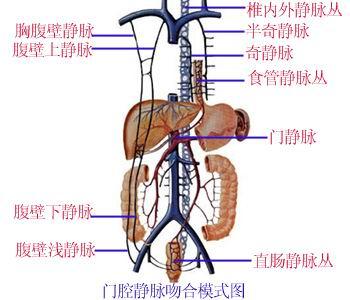全身静脉解剖图 3